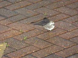 Wagtails love McDonald's